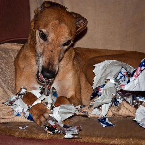 Your dog doesn't count as a beta-reader. Think of him as a personal shredder instead. Image by Mark Robinson