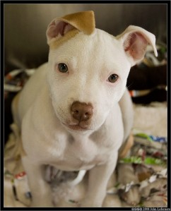 Don't worry - I know pitt bulls are big softies really. How could you not love that face!! -Image by John Lafornara